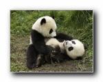 熊猫写真1600*1200