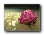 Lotus, Thailand