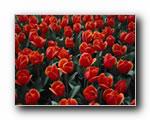 鲜花高清晰桌面壁纸1440*900(共5107次)