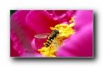 蜜蜂 微距摄影壁纸