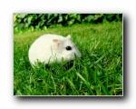 超可爱的小白鼠 (多分辨率)