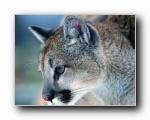 猫科类野兽动物壁纸