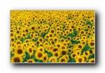 单反花朵摄影�D花海 宽屏壁纸 19(共2513次)