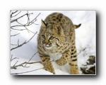 猫科类野兽动物壁纸 (第三辑)(共1964次)