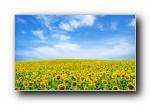 向日葵 葵花 宽屏壁纸(共3674次)