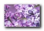《紫色之旅》紫色植物风光风景宽屏壁纸