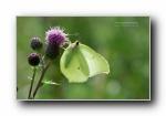 蝴蝶翩跹 昆虫摄影宽屏壁纸